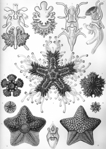 Grayscale version of Ernst Haeckel's Asteridea drawing